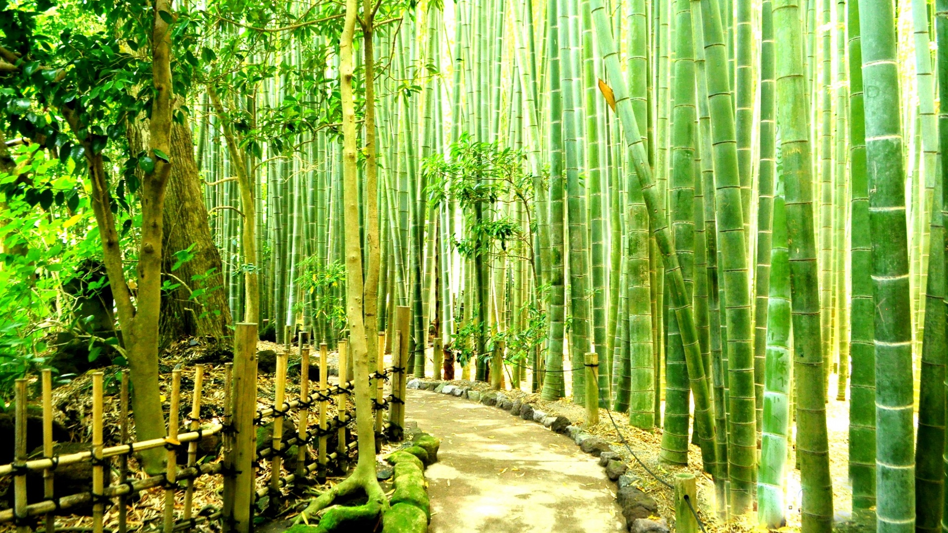 Photo collection bamboo wallpaper forest.